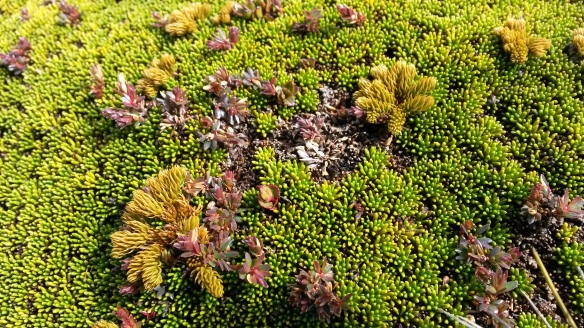 These tops aren't actually grassy, they're skinned in a bewildering array of miniature plants.  I suspect they belong to familiar plant families, but their alpine adaptations make them unrecognizable (to me).