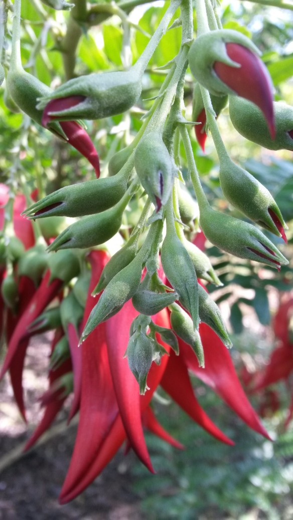 """Aptly named """"Kaka beak,"""" these red flowers are a New Zealand special.  I couldn't drum up much interest in these pendulous beauties among the little people, unfortunately."""