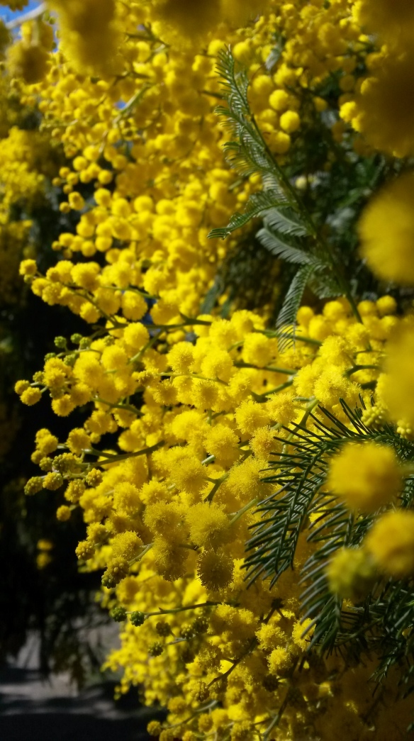 A whole hilltop at Halswell Quarry is capped with brilliant yellow wattle trees.  They're stunning, zillions and trillions of sunshine pompoms.  They're from Australia, but I don't hold that against them.