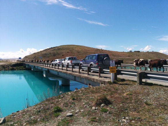 To round off the weekend, here's a quintessential Kiwi scene.  Cattle stopping traffic on the state highway.