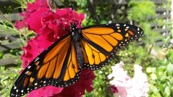 "We thought our newest monarch might like a taste of a fancy snapdragon.  It's a ""he,"" indicated by those two dark spots on the veins of his hind wings....but even ""he"" butterflies seem to like pink."
