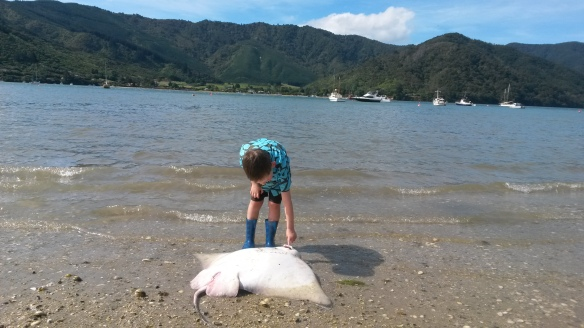 "Kelsey once gave me a pin-on button that read ""I like poetry, long walks on the beach, and poking dead things with a stick.""  It's true.  On our first walk out from the Anakiwa bach we found this dead sting ray.  I was more interested in it than Milo (did you know they have one large long bottom tooth??), but he was keen to get the rest of the crew to see it."